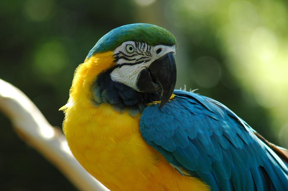 Macaw, Pet, Avian, Bird, Tropical, Animal, Parrot