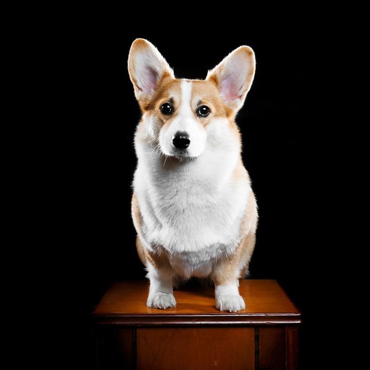 Dog, Corgi, Pets, Animal, Cute, Welsh Corgi Pembroke