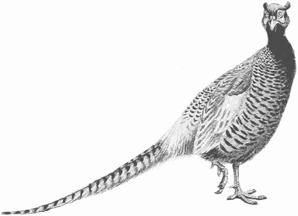 Animal, Bird, Game, Pheasant