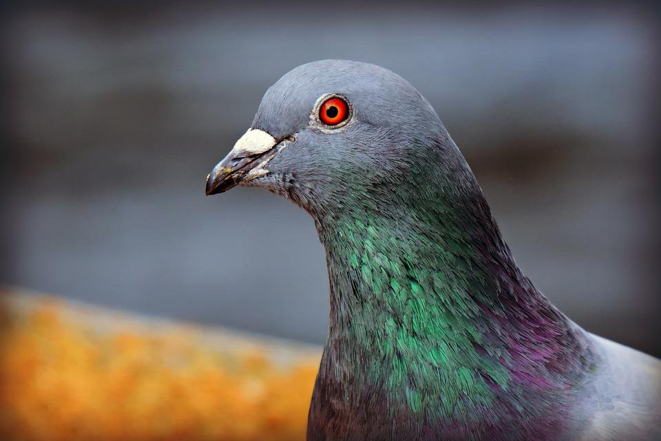 Rock Dove, Pigeon, Bird, Animal, Head, Beak, Eye