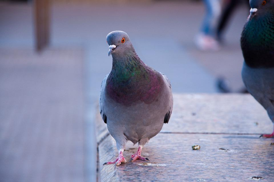 Pigeon, City, Bird, Animal, Feather, Urban, Beak