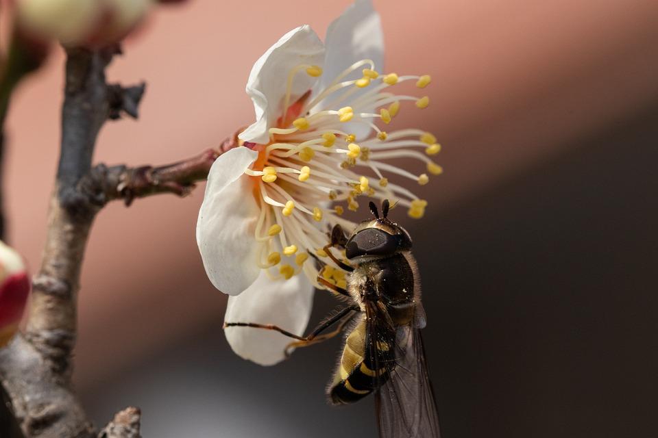 Bee, Flower, Plum Blossom, Insect, Animal, Pistils