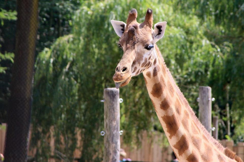 Planckendael, Giraffe, Animal