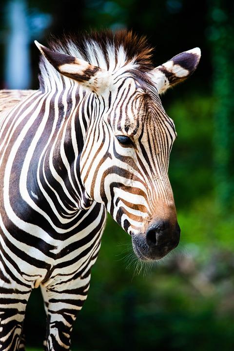 Zebra, Africa, Poaching, Wildlife, Horse, Animal