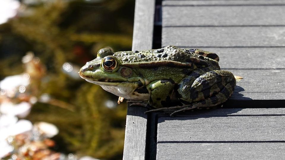 Frog, Amphibian, Green, Pond, Animal