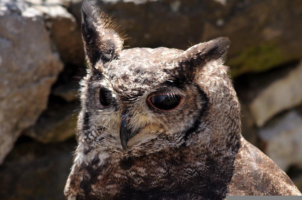 Owl, Bird, Portrait, Head, Beak, Animal, Bird Of Prey