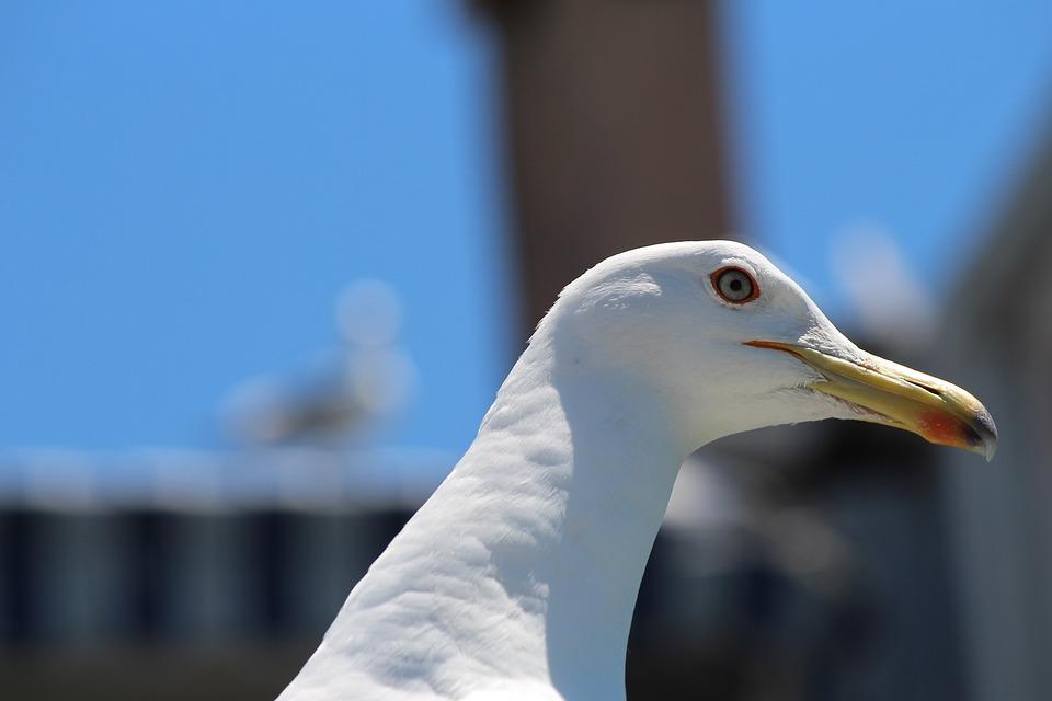 Seagull, Gull Portrait, Animal Portrait, Birds