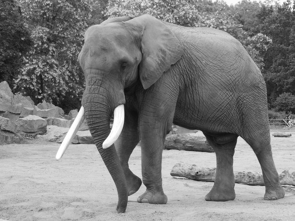 Elephant, Black And White, Animal Portrait, Black White