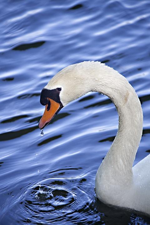 Swan, Water, Animal, Blue, Animal Portrait, White, Bird