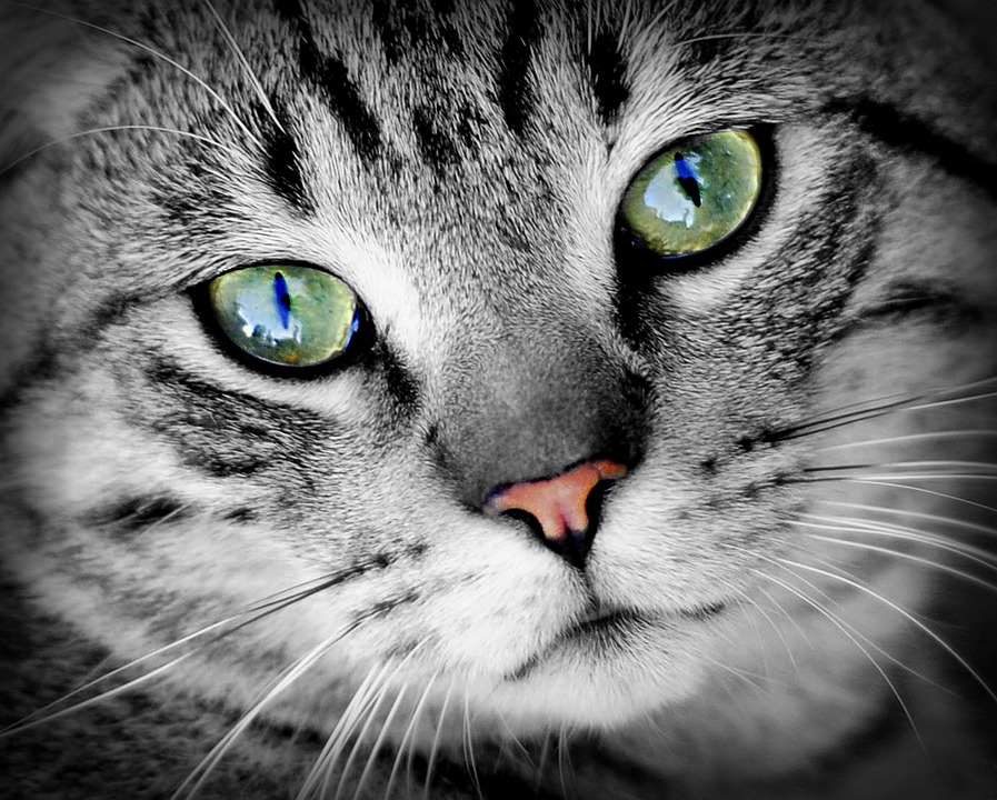 Cat, Animal, Animal Portrait, Pet, Domestic Cat, Mammal