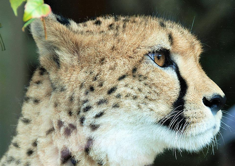 Cheetah, Closeup, Animal Portrait