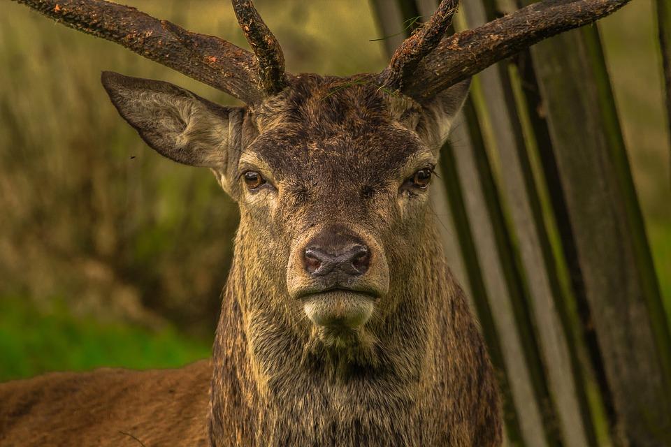 Deer, Animal, Richmond, Animal Portrait, Stag, Mammal