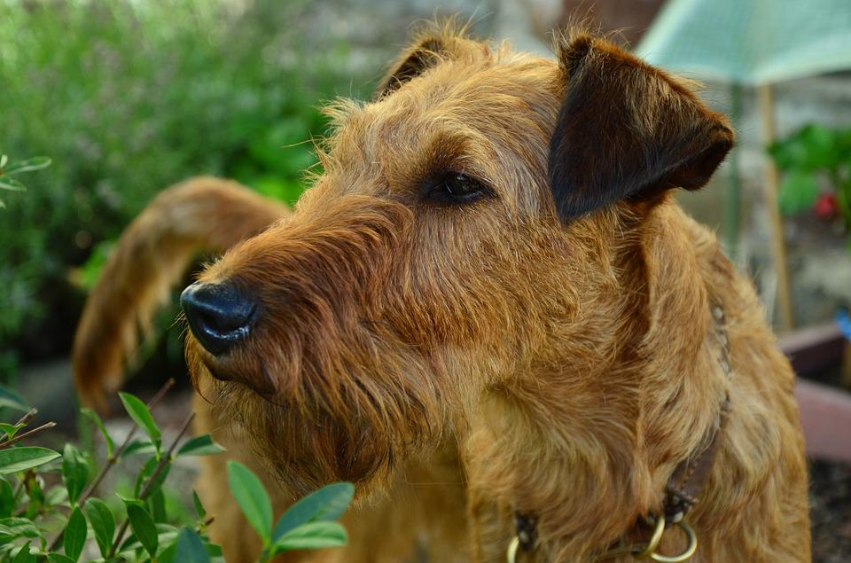 Dog, Irish Terrier, Hundeportrait, Animal Portrait