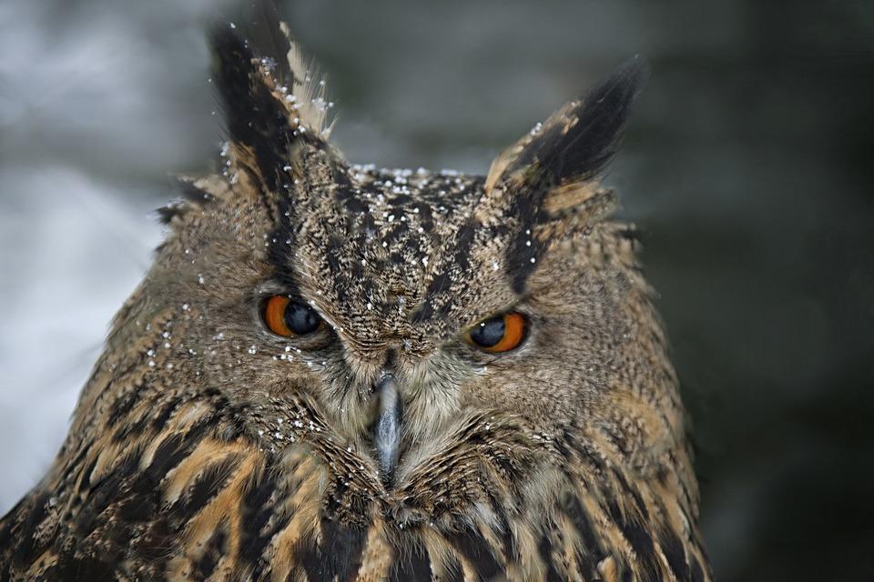 Eagle Owl, Animal Portrait, Bird