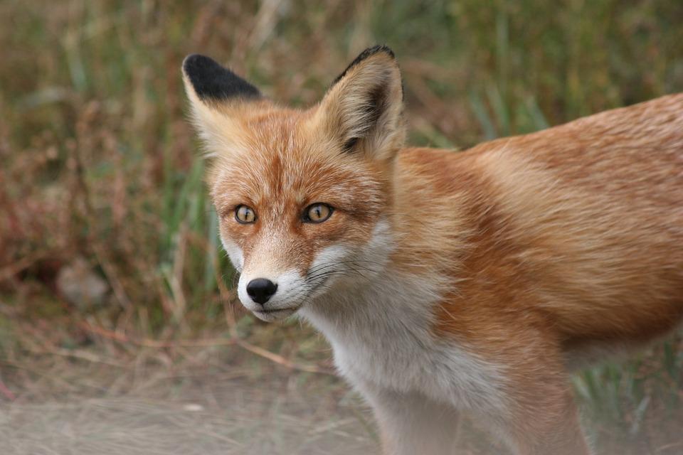 Fox, Animal, Portrait, Siberia, Fuchs