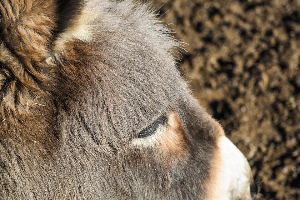 Donkey, Animal, Donkey Head, Animal Portrait, Livestock
