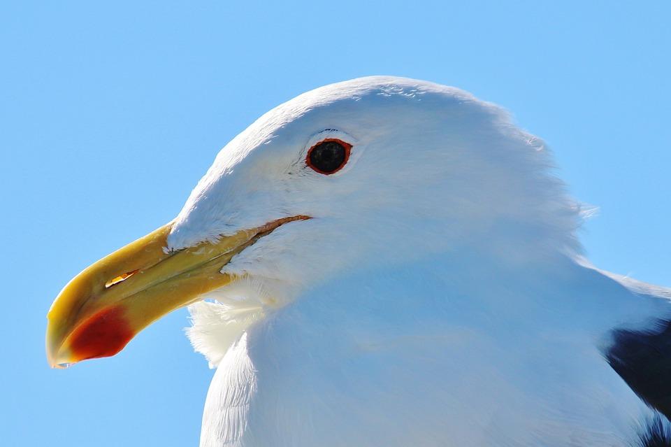 Seagull, Animal Portrait, Close, Bill, Spring, Portrait