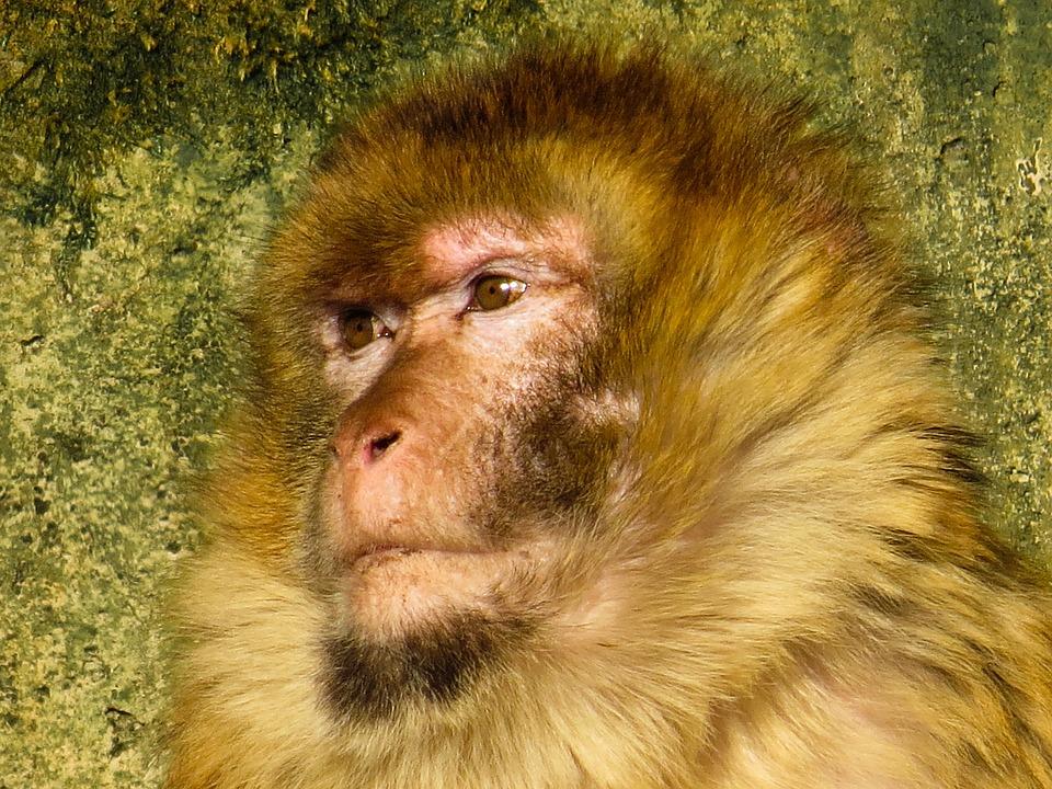 Animals, Monkey, Primate, Barbary Ape, Animal Portrait