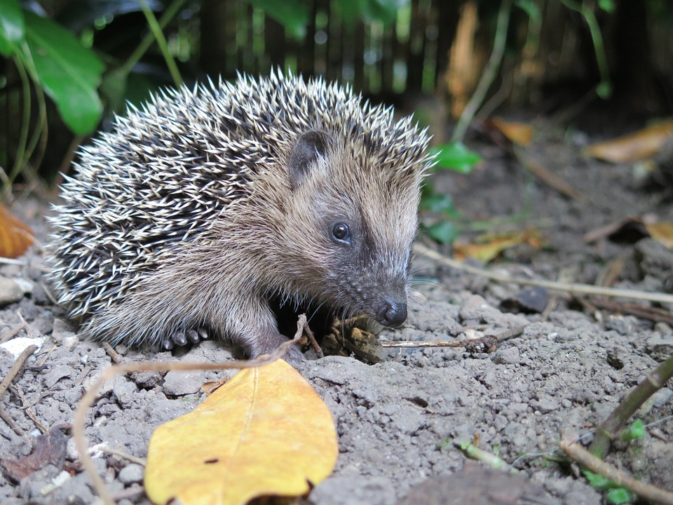 Hedgehog, Animal, Nature, Spur, Prickly, Hannah, Cute