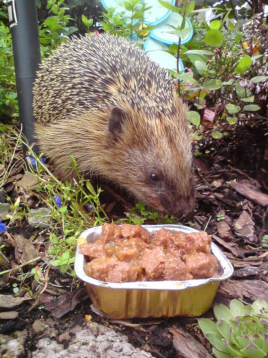 Hedgehog, Animal, Nature, Prickly, Cute, Spur