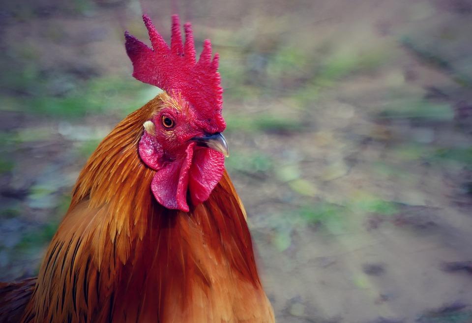 Hahn, Bird, Animal, Poultry, Pride, Gockel, Plumage