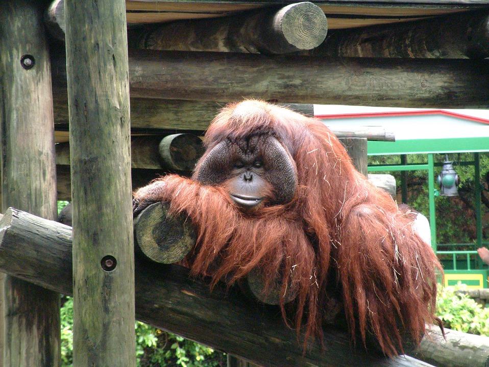 Monkey, Ape, Animal, Nature, Wildlife, Primate