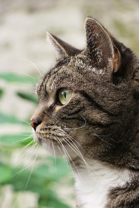 Cat, Animal, Profile, Pet, Domestic Cat, Cat's Eyes