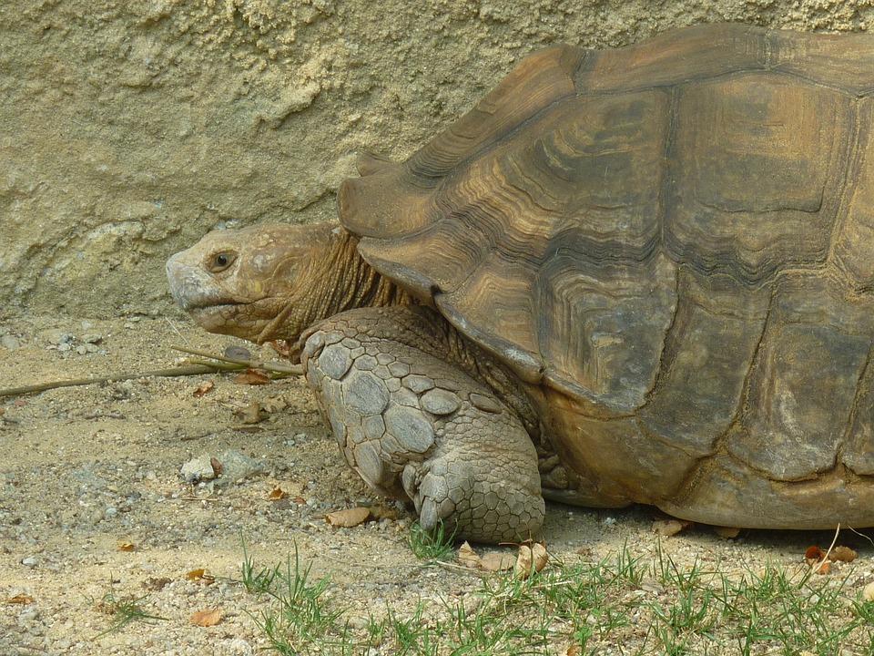 Turtle, Animal, Samoa, Armor, Huge, Protection