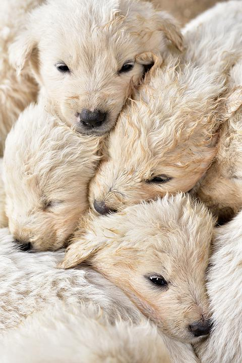 Puppies, Young, Small, Tender, Group, Animal, Pet, Cute