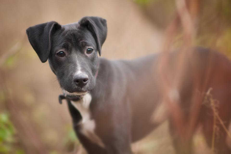 Dog, Doggie, Animal, Puppy, Black, Snout