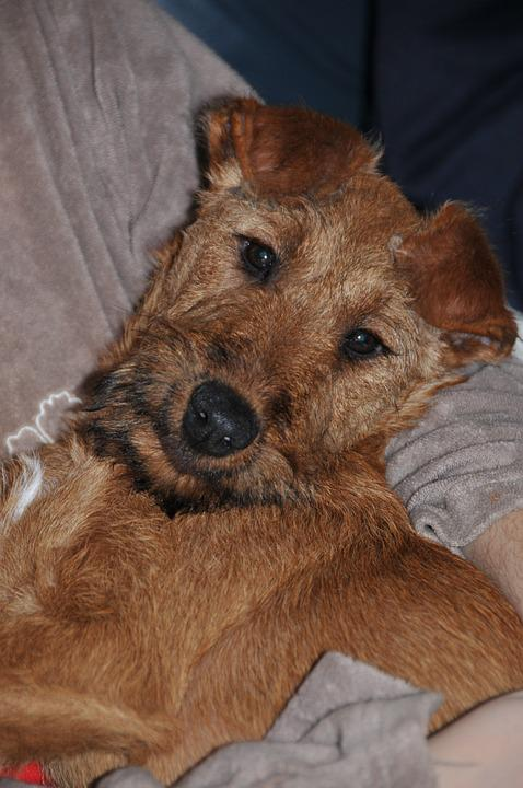 Irish Terrier, Dog, Pet, Animal, Puppy, Cute