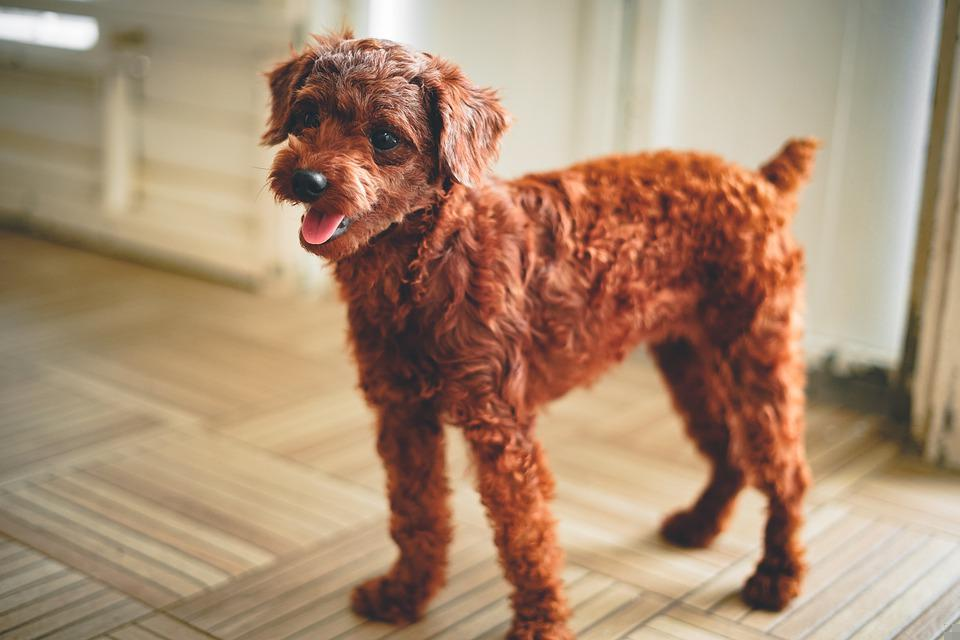 Toy Poodle, Dog, Puppy, Pet, Animal, Young Dog