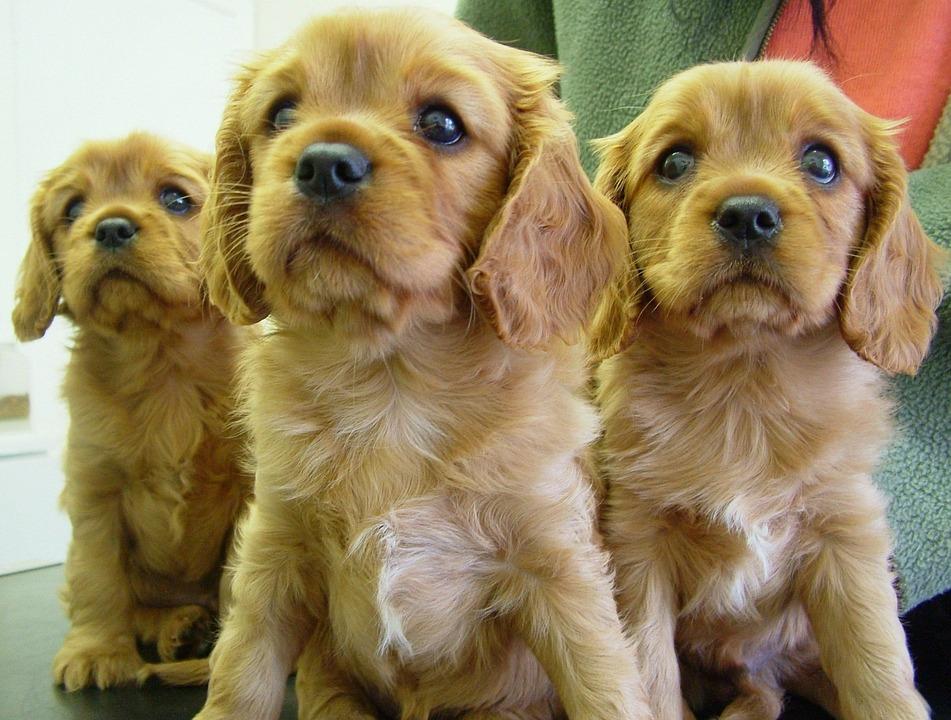 Dog, Puppy, Animal, Cute, Purebred, Spaniel