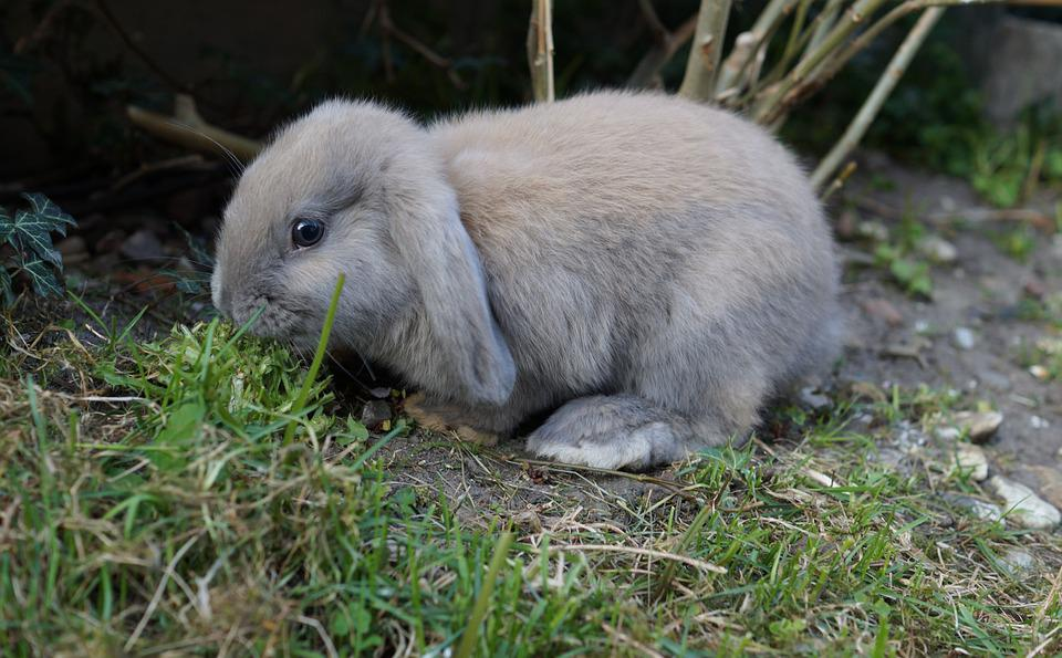Grass, Fur, Rabbit, Schlappohr Rabbit, Animal, Pet