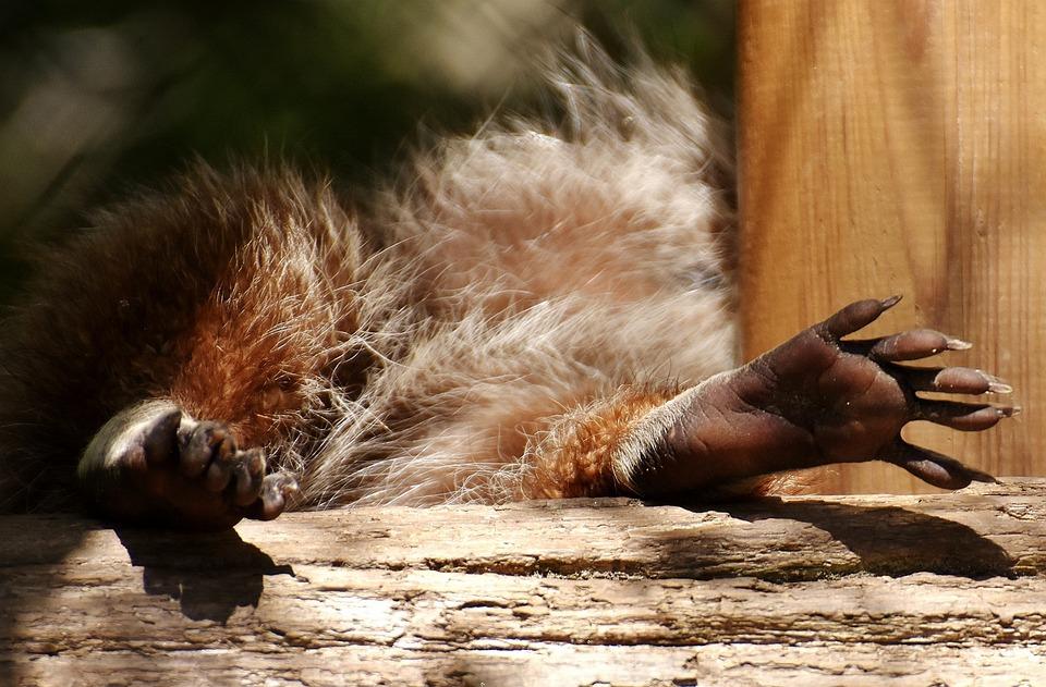 Raccoon, Feet, Concerns, Paws, Cute, Animal