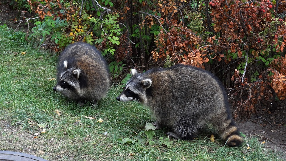 Animal, Raccoon, Wild, Nature
