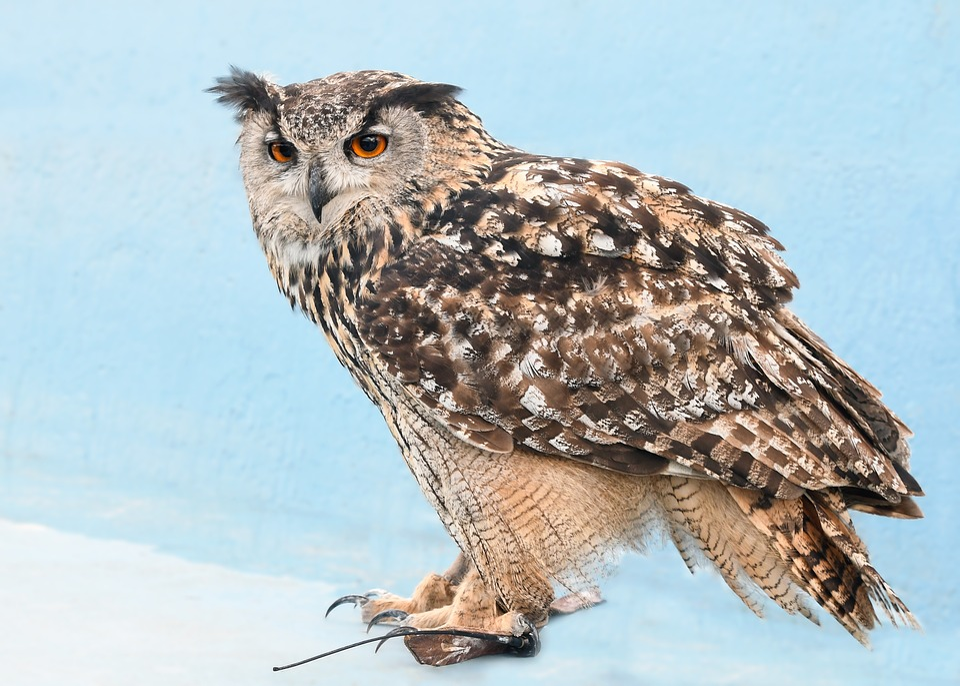 Owl, Grand Duke, Raptor, Nocturne, Bird, Animal, Blue