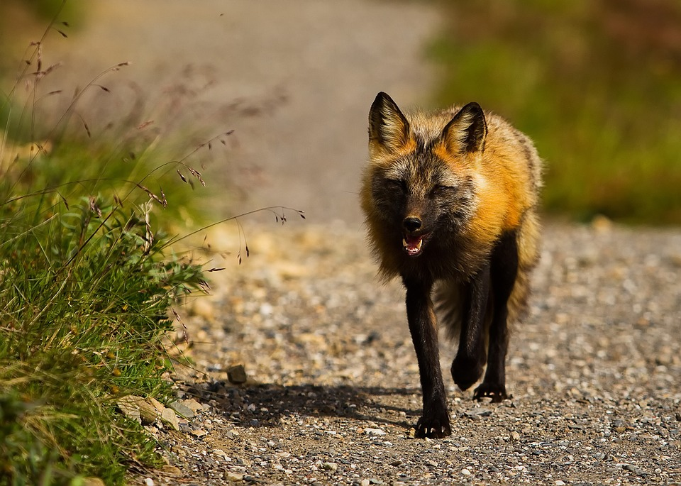 Red Fox, Alaska, Wildlife, Animal, Close-up, Macro