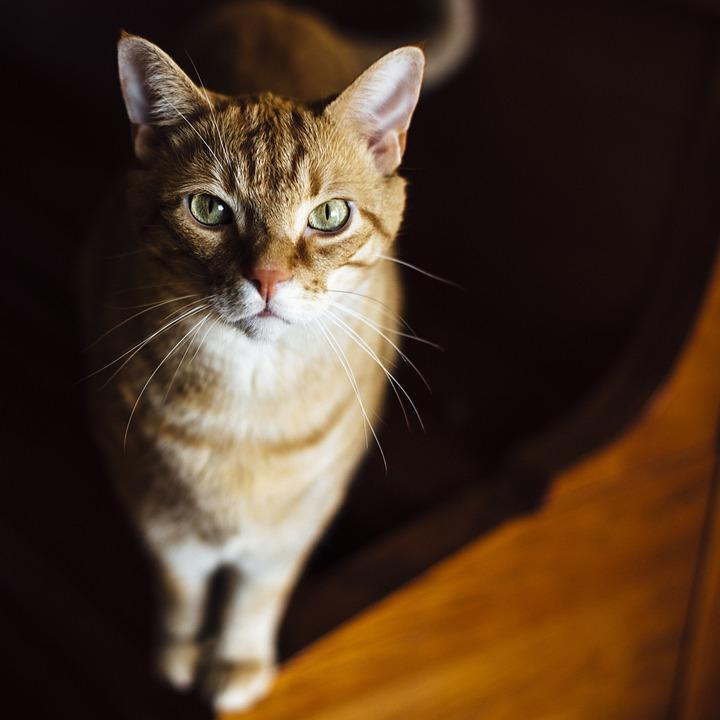 Cat, Animal, Pet, Ginger Fur, Red Fur, Green Eyes