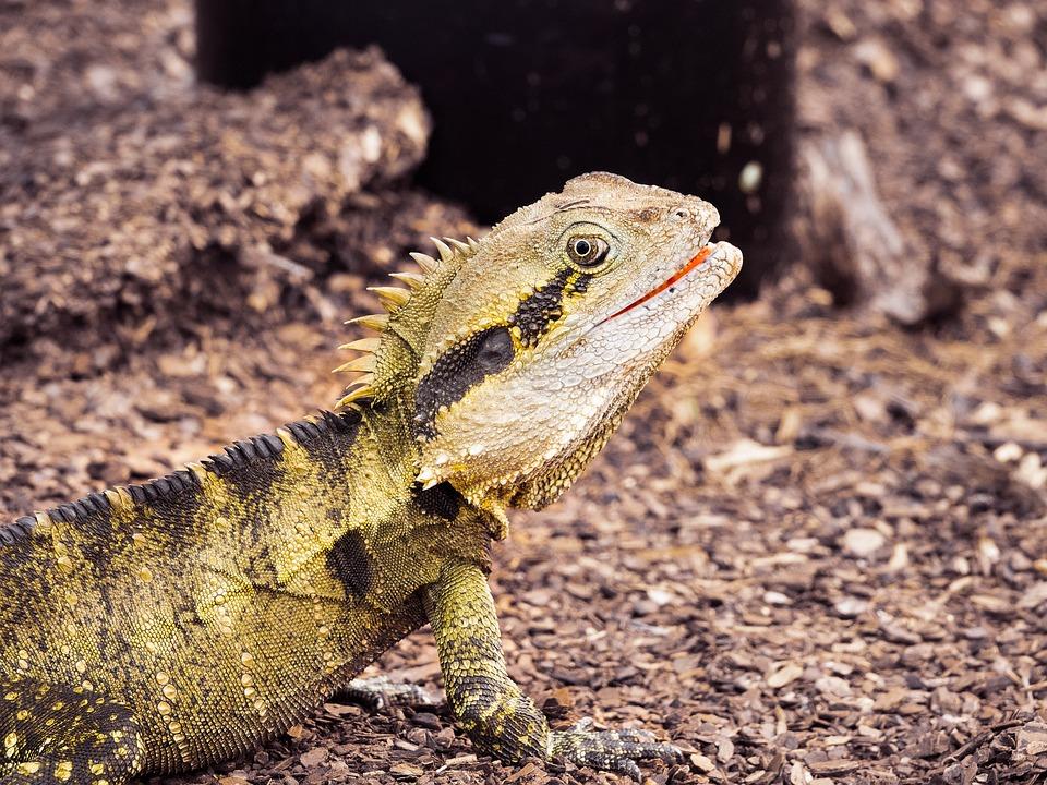 Lizard, Reptile, Waterdragon, Australianreptile, Animal