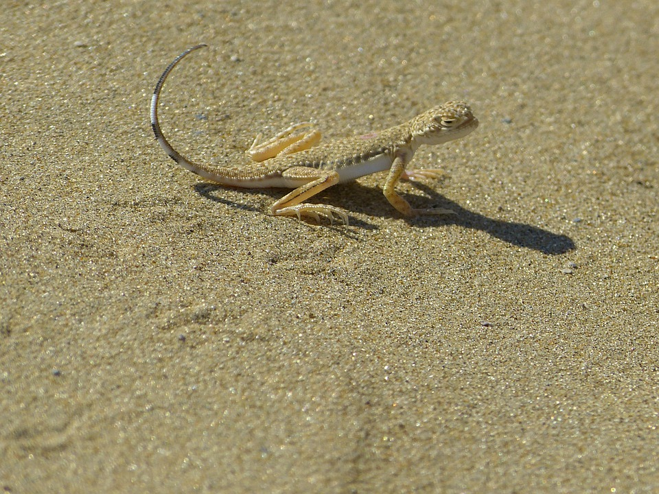Animal, Lizard, Disguised, Sand, Reptile