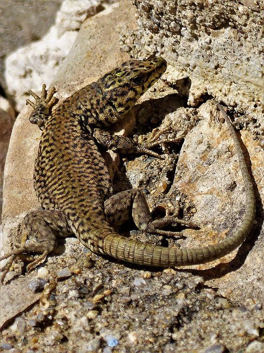 Nature, Reptile, Animal, Lizard, Fauna