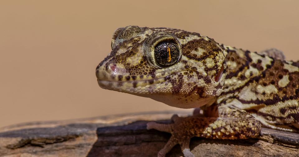 Gecko, Reptile, Animal, Ocelot Gecko