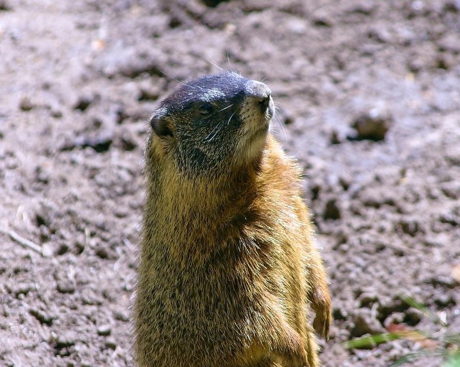 Wyoming Yellow-bellied Marmot, Rock Chuck, Animal