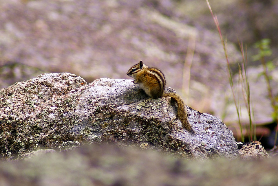 Chipmunk At Devils Tower, Animal, Rodent, Chipmunk