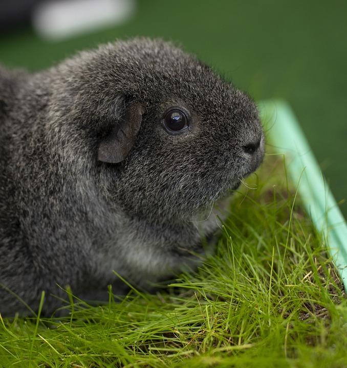 Guinea Pig, Cute, Rodent, Animal, Sweet, Fur