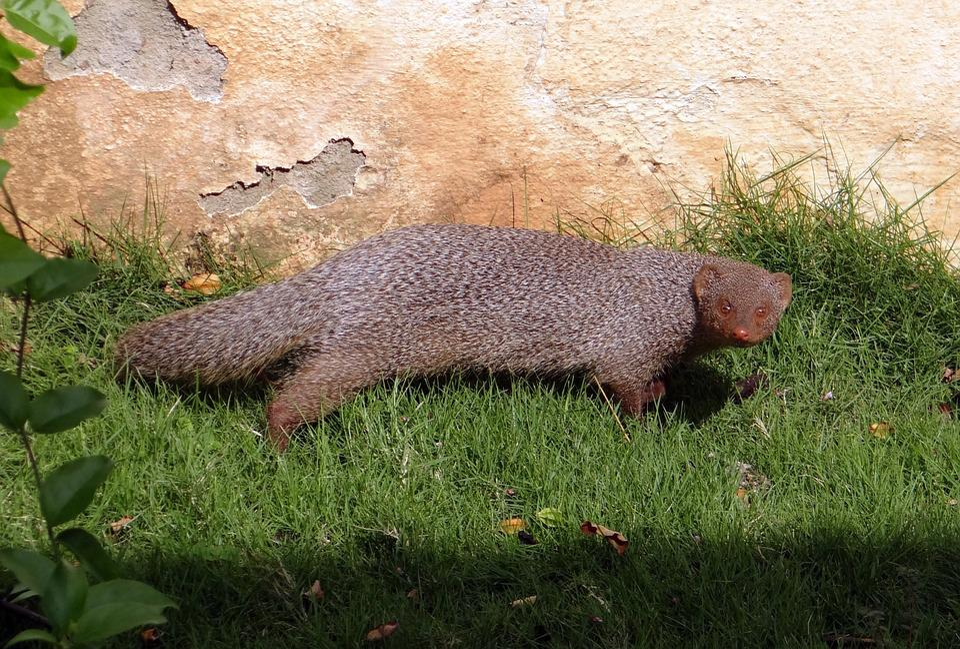 Mongoose, Indian Grey Mongoose, Rodent, Animal