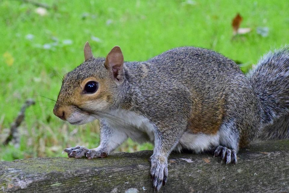 Squirrel, Rodent, Mammal, Animal, Small Animal