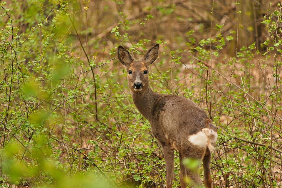 Roe Deer, Animal, Meadow, Deer, Female Deer, Cervidae