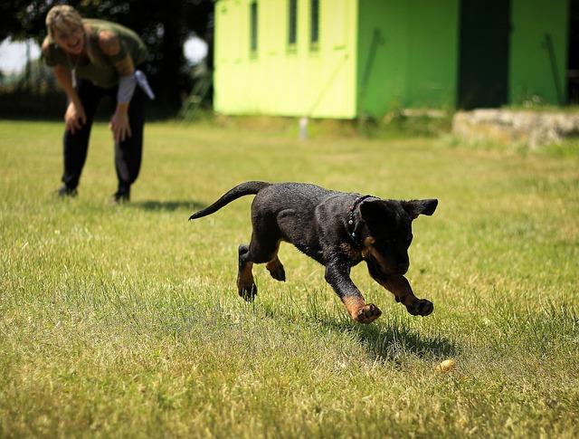 Puppy, Rottweiler, Dog, Puppies, Animal, A Little